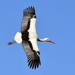 stork-fly-wing-birds-thumbnail.jpg