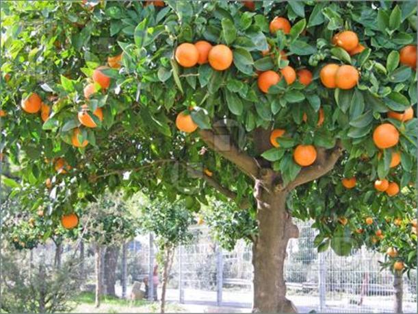 только как выращивают яблоки в китае поэтому